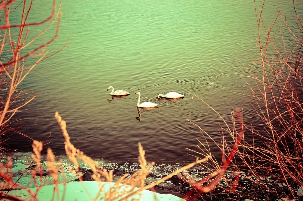 Алтайская зимовка - праздник прилета лебедей-кликунов