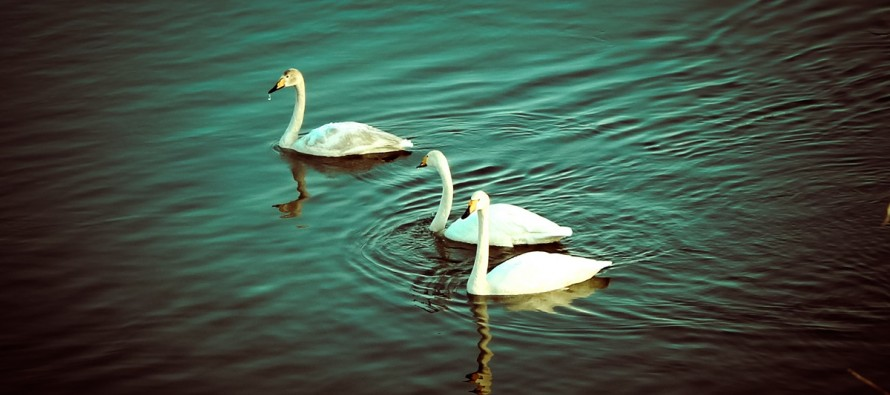 Ледяные лебеди