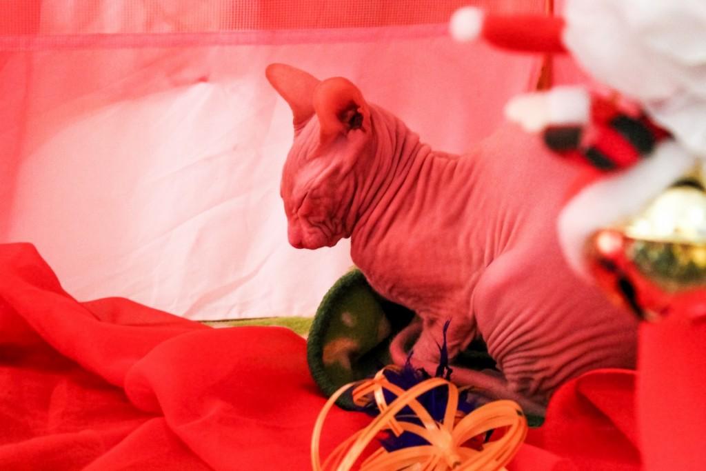 Фото выставки кошек и котят «Зимние забавы»