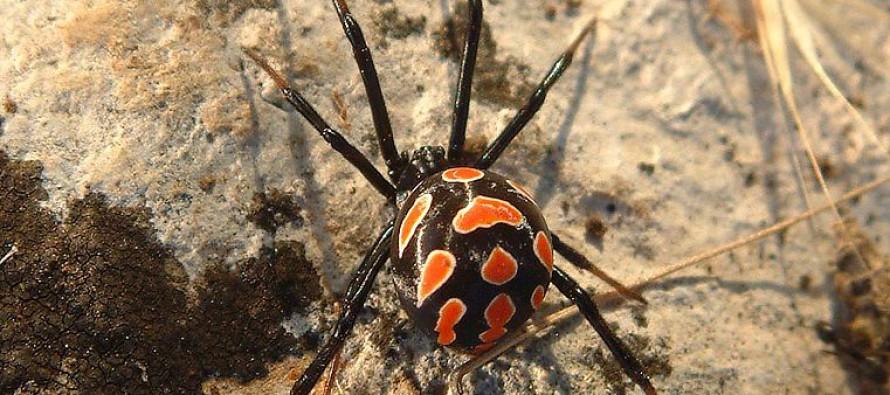 Ожидается появление смертельно опасных пауков