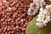 В 2016 году урожай гречихи в Алтайском крае вырос на треть