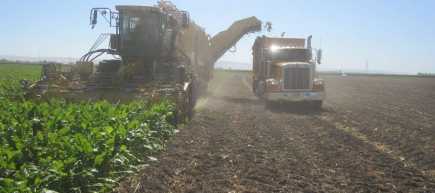 Урожай свеклы на Алтае бьет рекорды