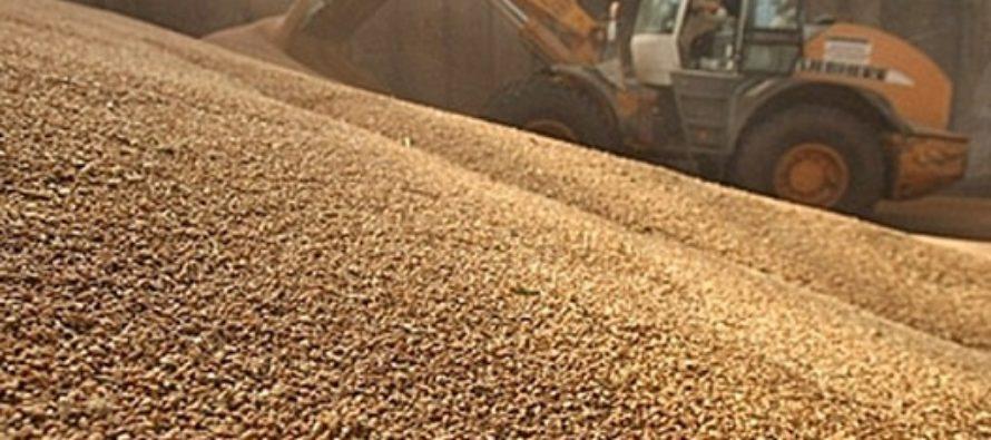 Почти полмиллиарда рублей получили алтайские аграрии от реализации зерна в государственный интервенционный фонд