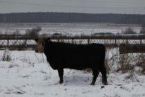 Фермеры из Монголии купили племенной скот из Бийска