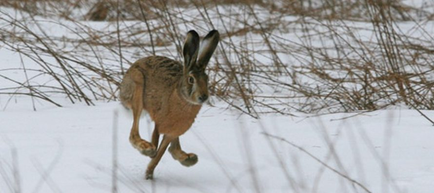 1 ноября в Алтайском крае откроется осенне-зимний сезон охоты на зайца и лисицу