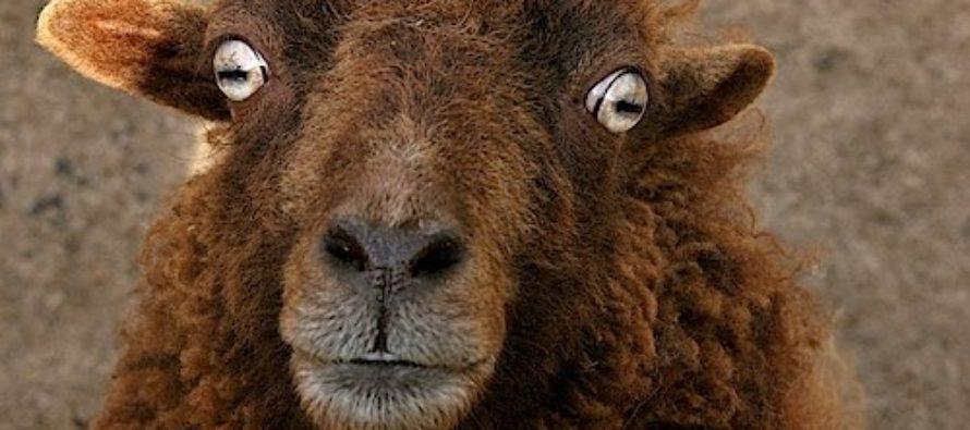 Житель Алтая украл барана