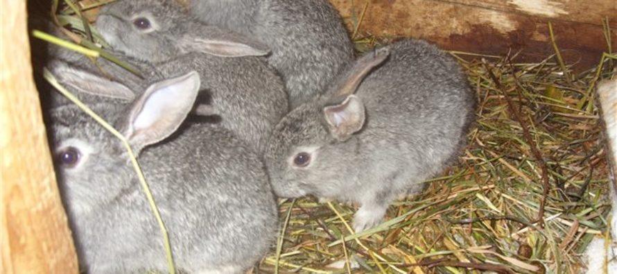 «Кролики — это не только ценный мех»: житель Алтая украл и съел четырех кроликов