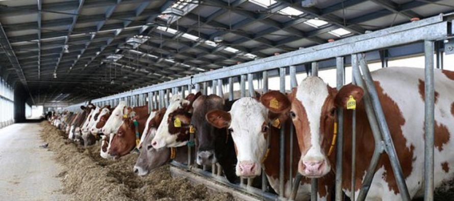 Хозяйство «Алтай» прорвалась в лидеры по производству молока в регионе