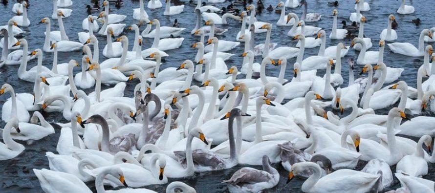 На незамерзающие озера Алтайского края прилетели лебеди-кликуны