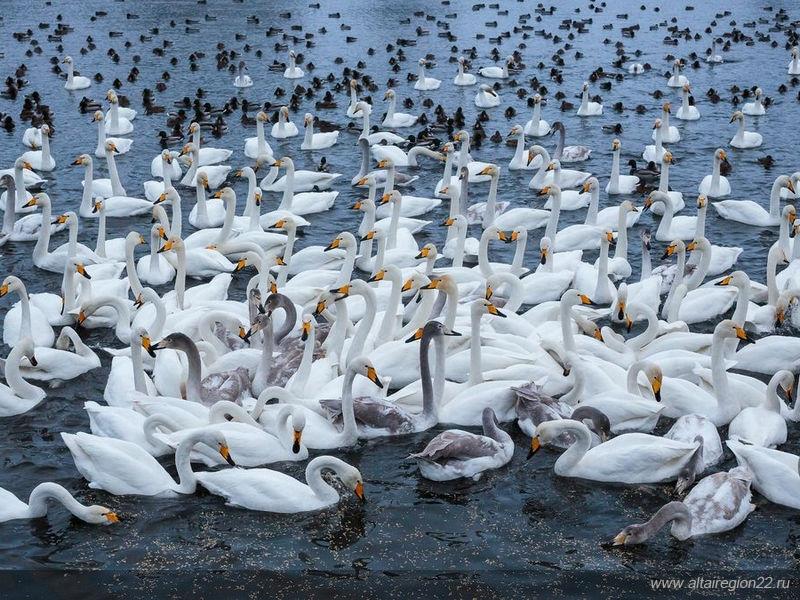 Нанезамерзающие озера Алтайского края прилетели лебеди-кликуны