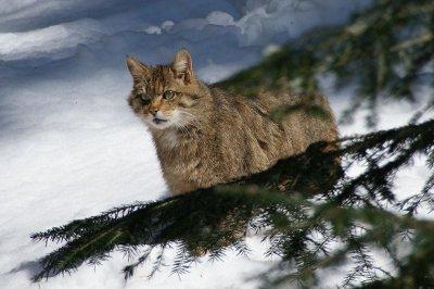 Сибирские ученые впервый раз вывели впробирке гибрид котенка