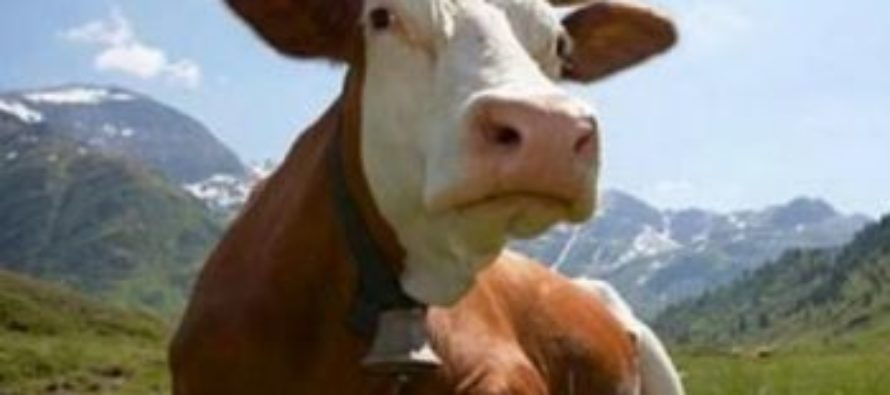 Алтайские фермеры увеличили объемы производства молока