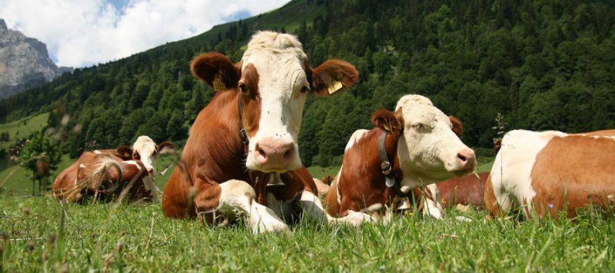 В алтайском хозяйстве проводят эксперимент с пробиотиками для коров и телят