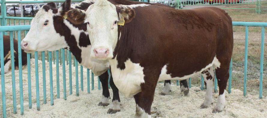 В 2016 году лучшим по развитию мясного скотоводства в Алтайском крае стал Целинный район
