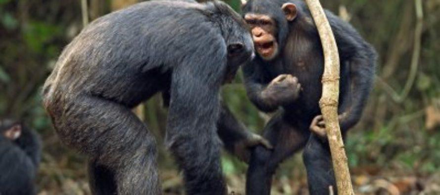 Ученые уверены, что обезьяны способны заговорить