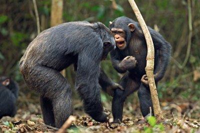 Ученые считают, что обезьяны всостоянии заговорить
