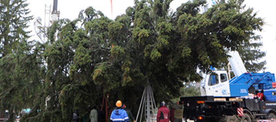 Тюменский чиновник потерял работу за без спроса спиленную ель в огороде пенсионерки