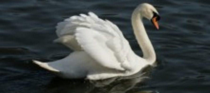 В алтайском селе браконьеры перестреляли всех лебедей