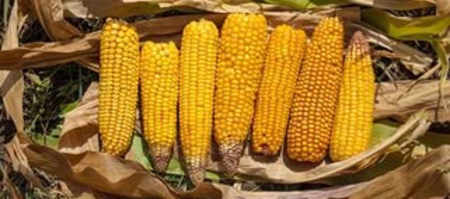 Урожайность кукурузы на зерно в алтайских хозяйствах края в 2,6 раза превысила показатели 2015 года