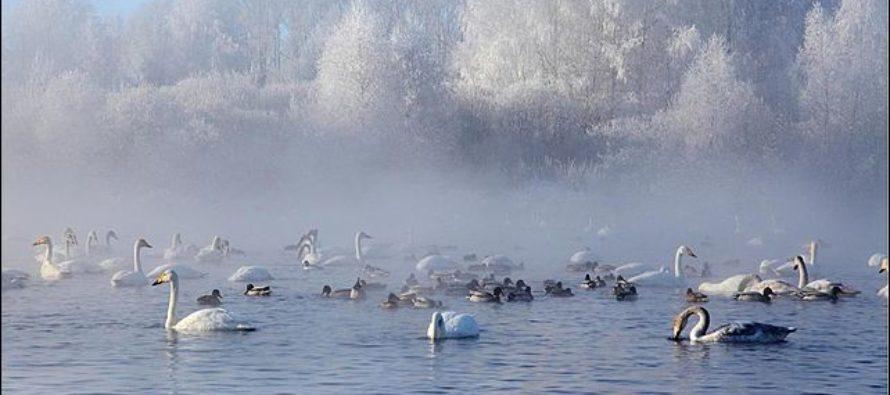 В алтайский природный заказник «Лебединый» прилетели 754 птицы