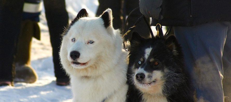 «Алтайская зимовка»: туркомпании организуют доставку на соревнования ездовых собак