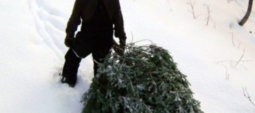 Леса Алтайского края охраняют от «чёрных лесорубов»