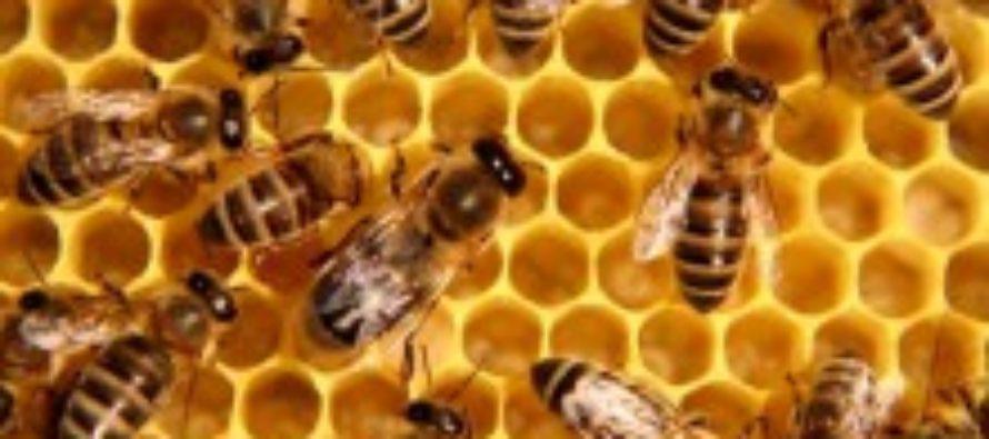 На Алтае зафиксирована массовая гибель пчёл