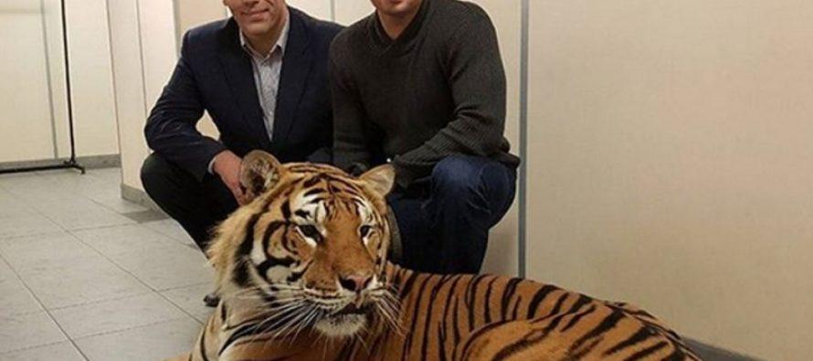 Бесстрашный Николай Валуев сфотографировался с тигром Запашных без клетки