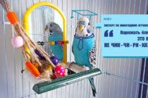 Попугай выбирает новогодние игрушки. Видео