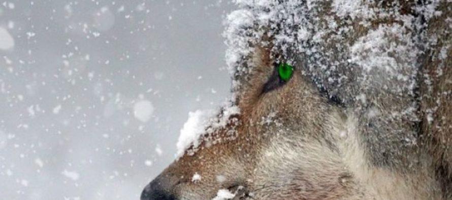 В отдаленное село Алтайского края в разгар дня зашли лесные волки