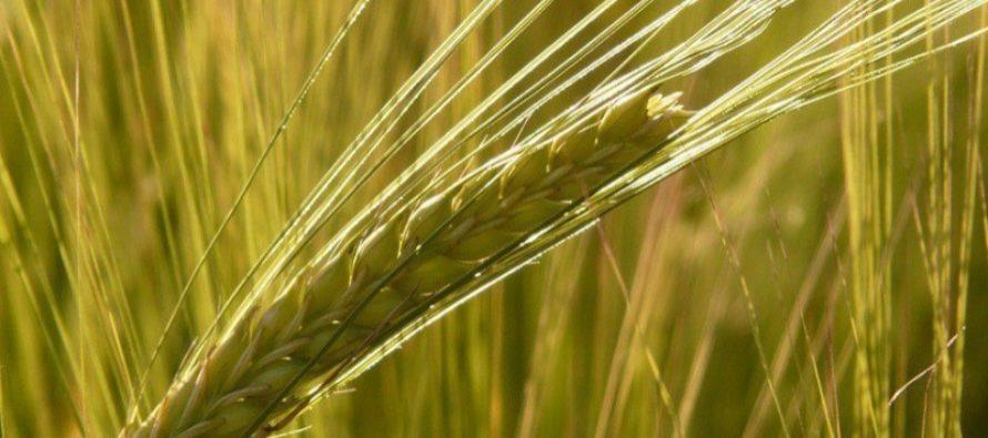 Аграрии Алтайского края убрали зерновые и зернобобовые культуры с 62% площадей