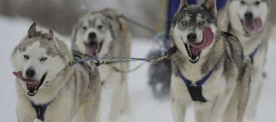 На «Бирюзовой Катуни» пройдут горные гонки на собачьих упряжках