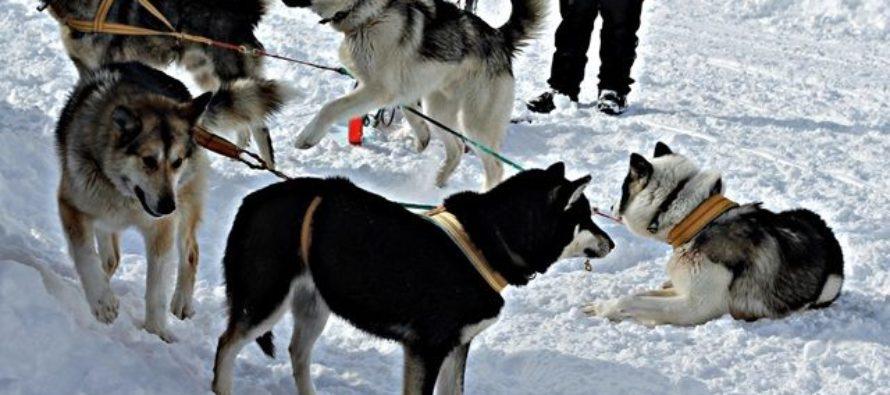 На «Гребном канале» пройдут гонки на собачьих упряжках и гонка-буксировка