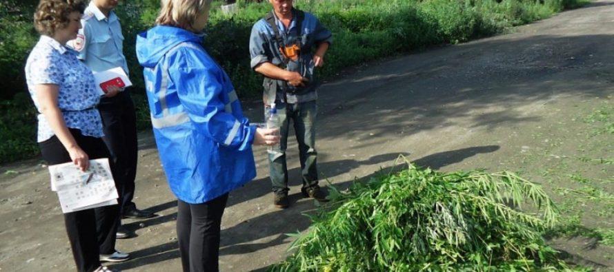 В Барнауле уничтожили несколько участков дикорастущей конопли