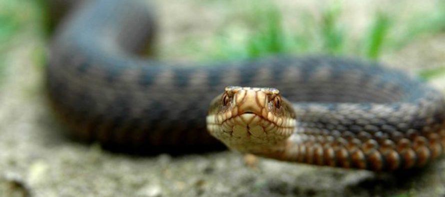 У бийских врачей не оказалось лекарства для пациента, которого укусила змея